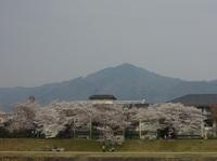 桜が満開の賀茂街道を走ります。|プランニングサービス(1039)